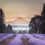 Mt Hood & Lavender - 13 x 19 - Photography