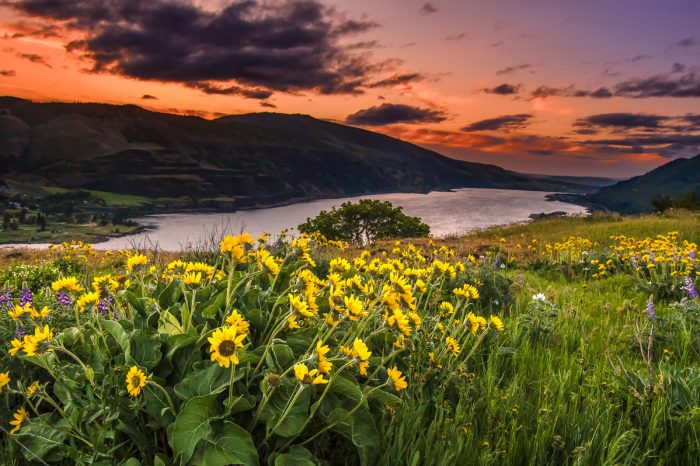 Balsamroot at Dawn - 16 x 24 - Photography