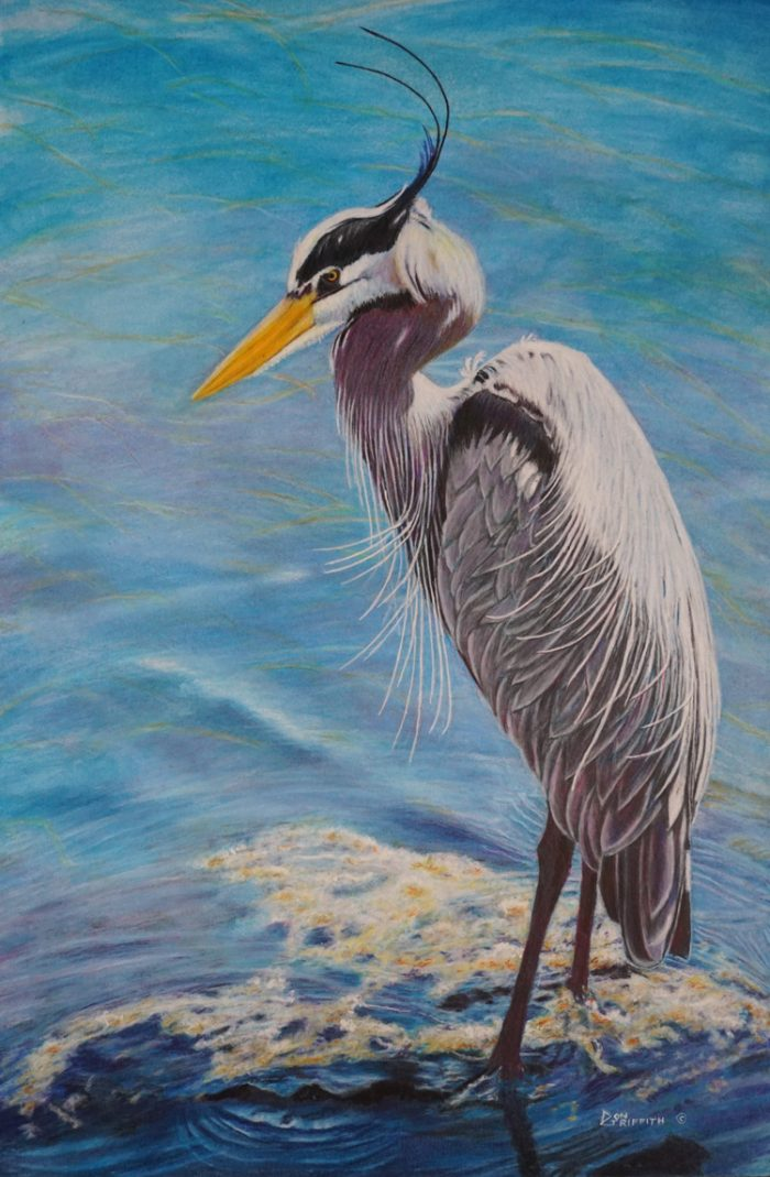 Blue Heron - 14 x 20 - Watercolor, Colored Pencil