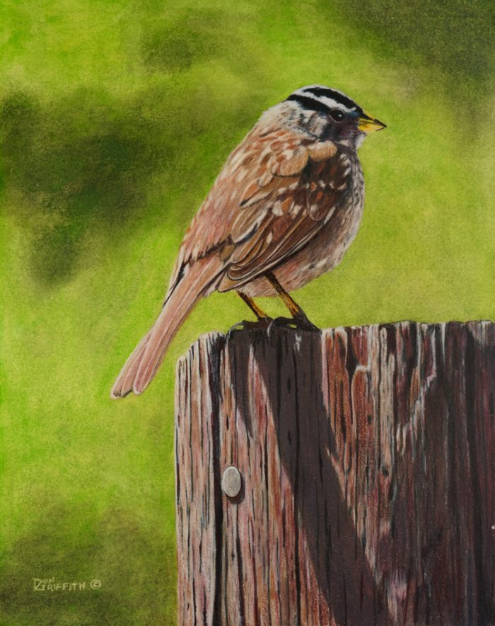 Crowned Sparrow - 16 x 20 - Watercolor, Colored Pencil