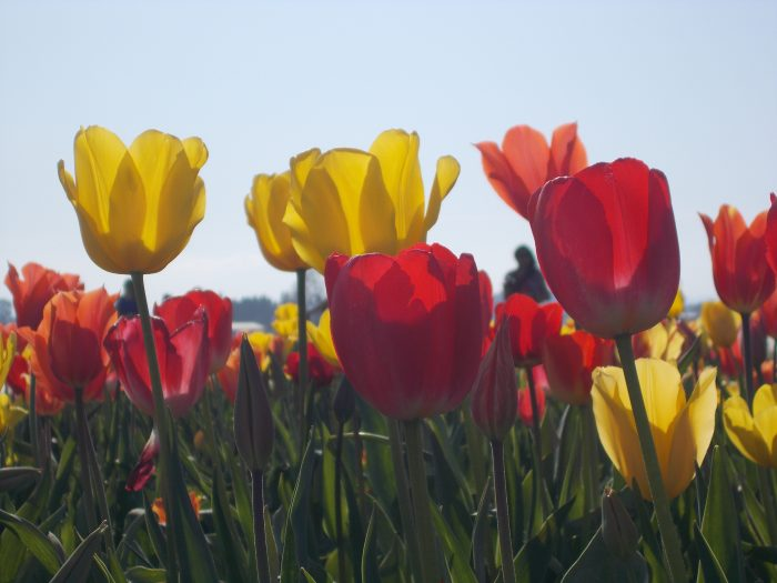 Back Lit Tulips - 16 x 20 - Photography