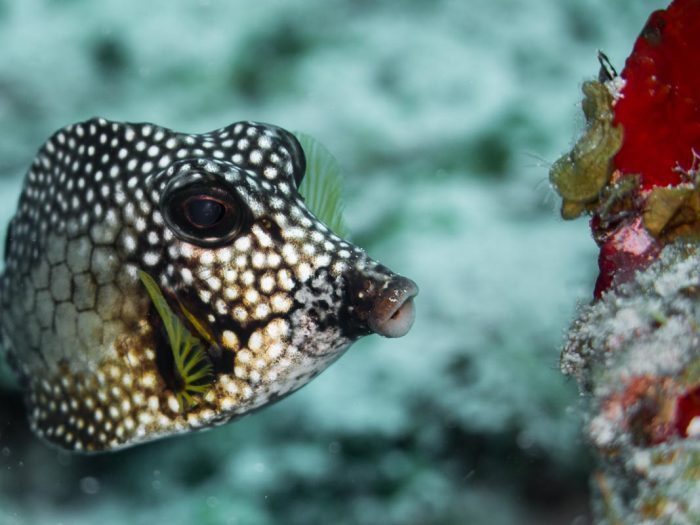 Spotted Trunkfish - 13 x 10 - Photograph