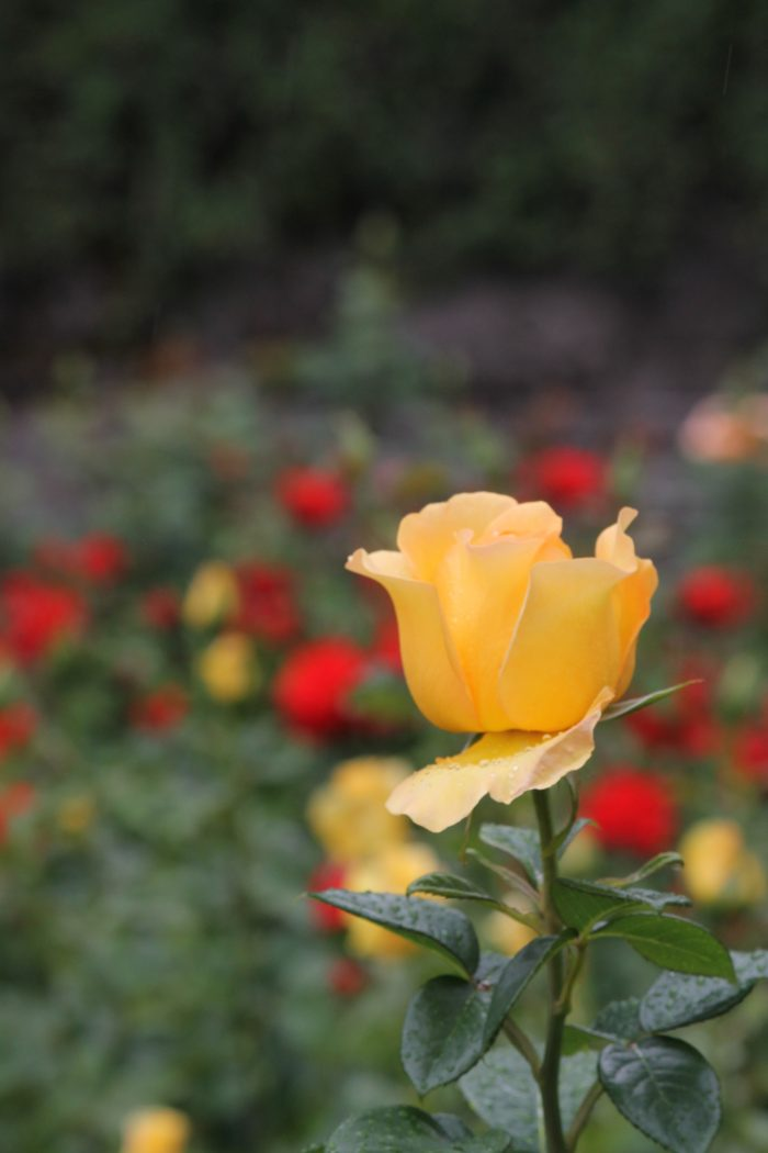 Rose of Friendship – 16 x 20 – Photograph
