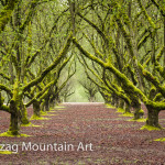 Winter can be green in Oregon as the moss grows when the leaves no longer block the light.  This orchard of filbert trees is covered with moss now but the leaves will soon take over for the summer.