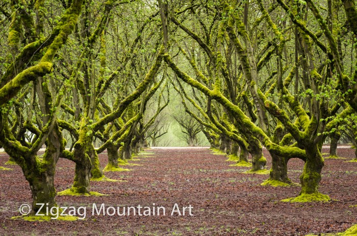 Mossy Hazelnut Orchard - 24 x 16 - Photography