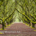Mossy Hazelnut Orchard - 24 x 16 - Photography thumbnail