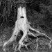 Stump Portrait in Black and White - 8 x 10 - Photography thumbnail