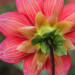 Bottoms-Up Dahlia - 11 x 14 - Photography thumbnail