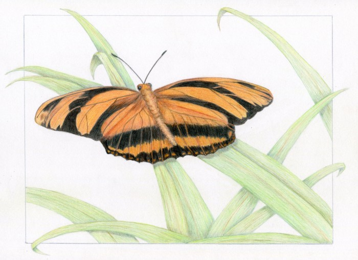 Orange Butterfly - 9 x 12 - Colored Pencil