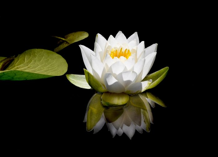White Water Lily - 8 x 10 - Photography