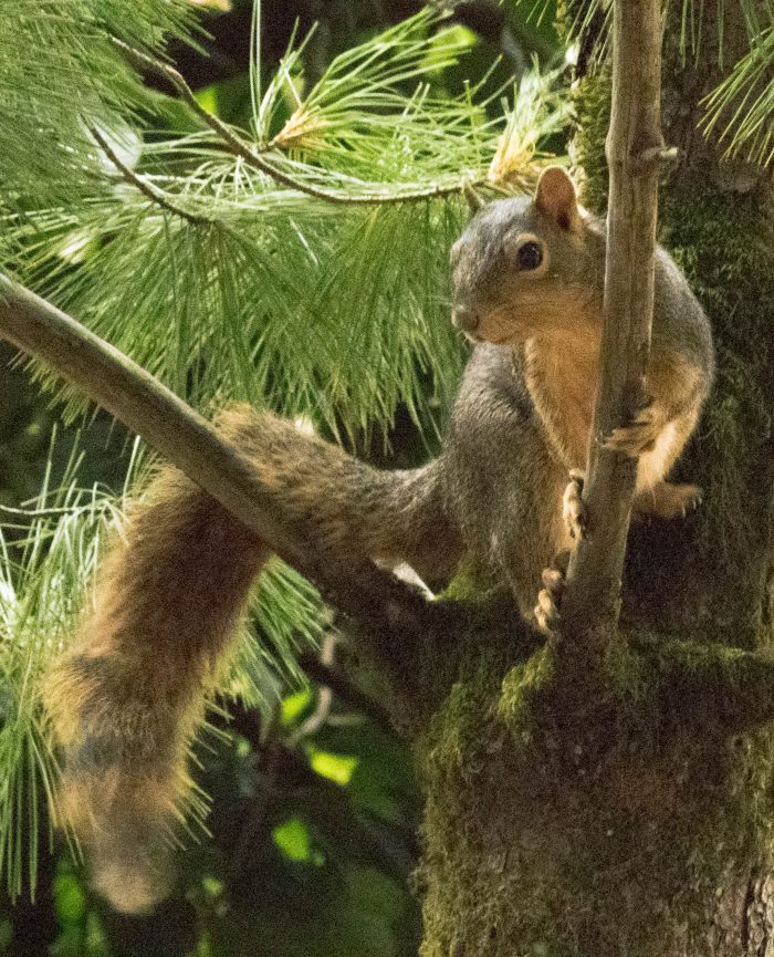 Squirrel in Pine - 16 x 20 - Photography