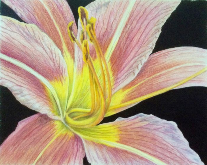 All in  a Daylily - 8 x 10 - Color Pencil