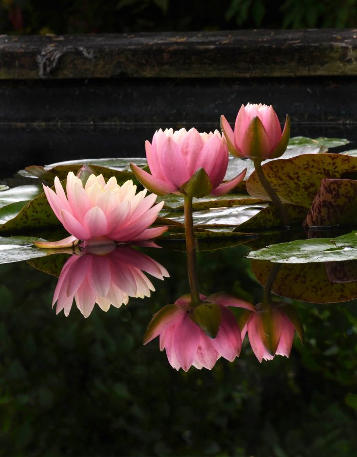 Pink Water Lilies - 8 x 10 - Photography