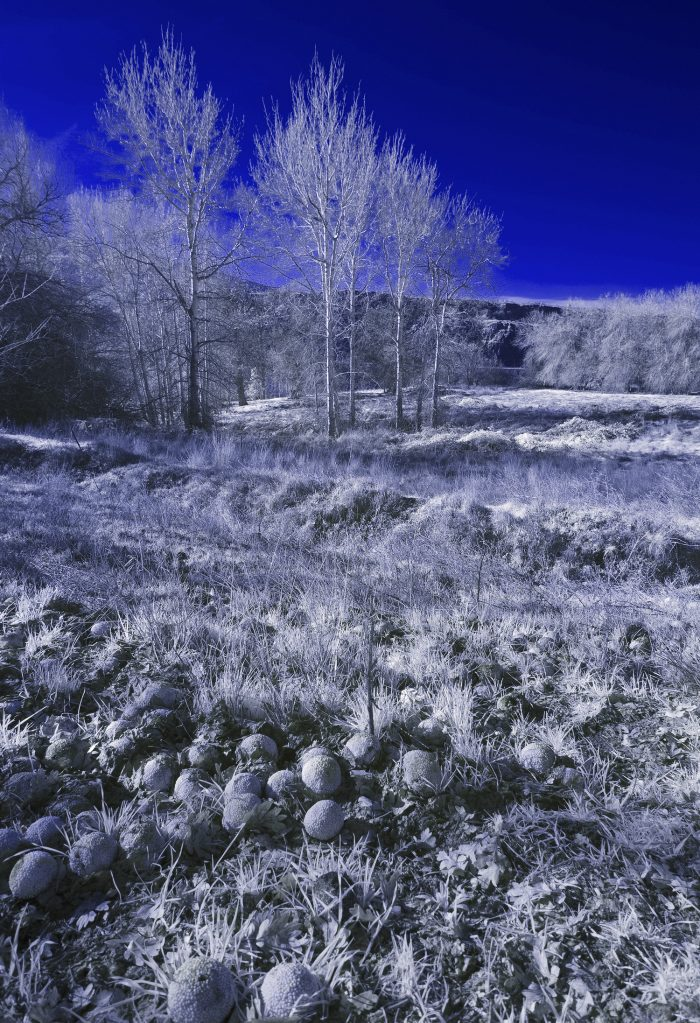 Osage Oranges - 24 x 18 - Infra Red Photography
