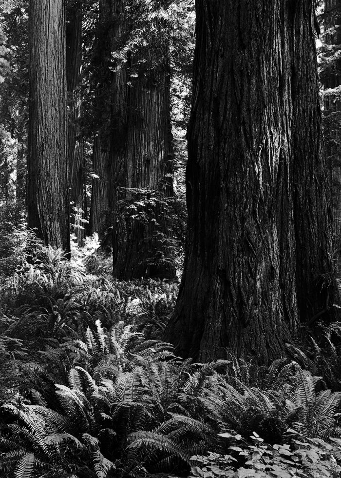 Redwoods, Northern California - 29 x 37 - Photography