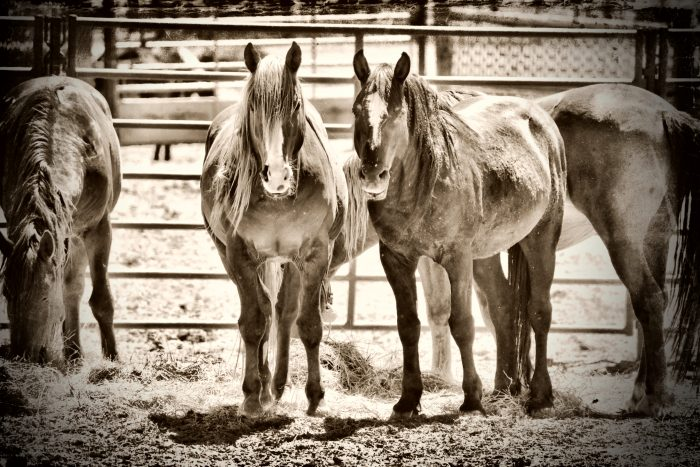 Lost Brothers (Captured Mustangs) - 16x20x2 - Photography